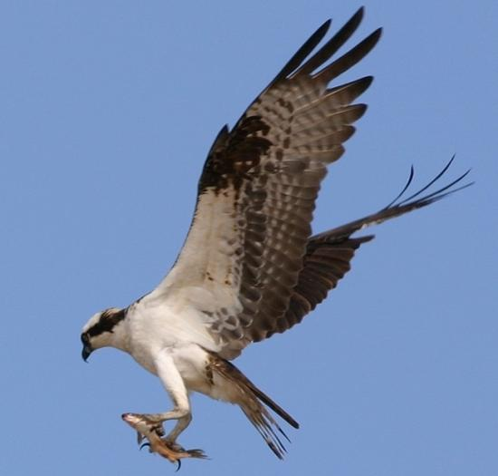 a report on ospreys or fish hawk The osprey is the only hawk on the continent that although there are reports of adults since young ospreys eat fish that their parents catch.