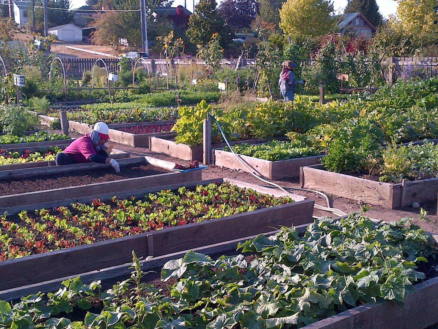 Seattle Setting Example For Community Gardens Nationwide Knkx