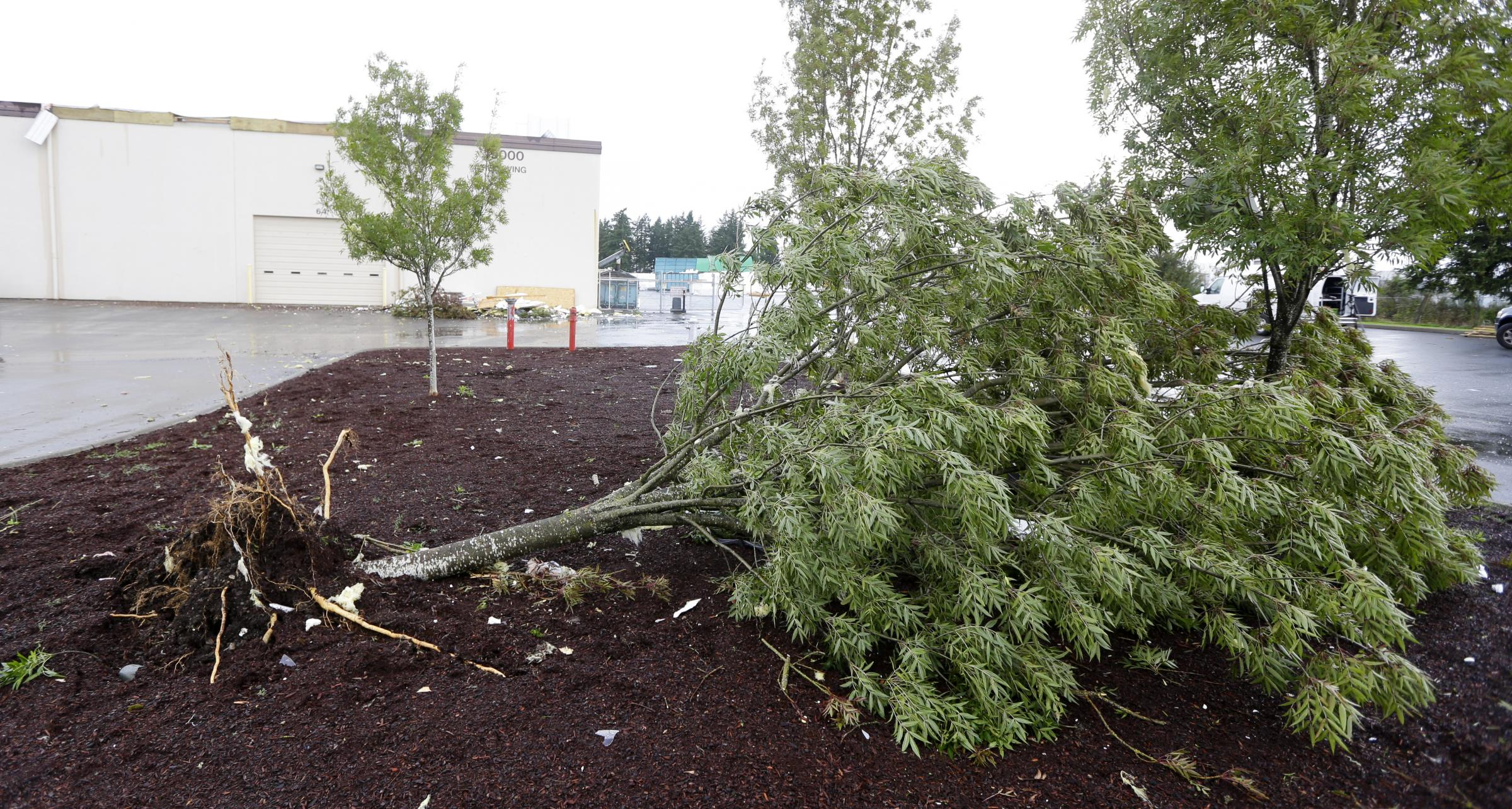 An Uprooted Tree Lies On The Ground At Northwest Door In Puyallup, Wash.,