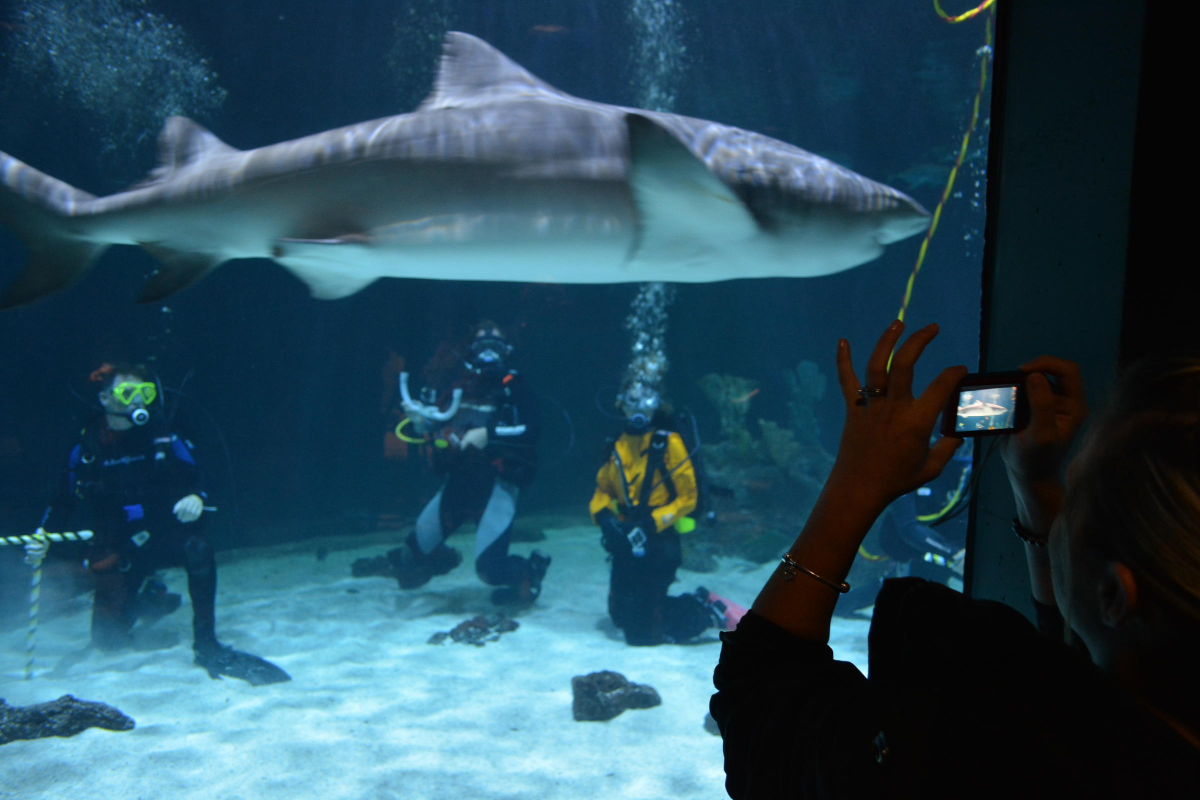 Point defiance to let visitors swim with sharks knkx for Shark fish tank