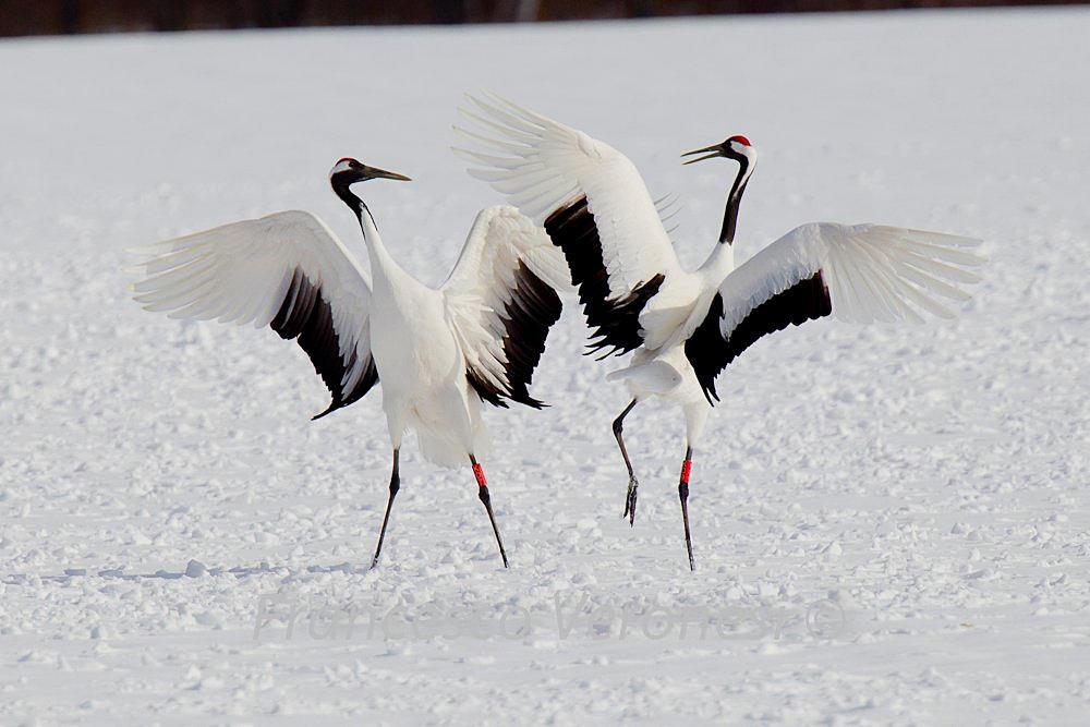 birdnote red crowned cranes dance on hokkaido knkx