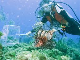 A diver captures a lionfish for the aquarium trade