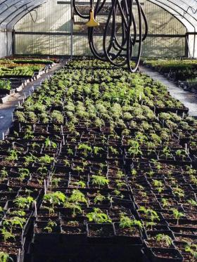 "Flatland Flower Farm's greenhouse is holding many varieties of tomato starters ready for market, including a new variety, the ""Dirty Girl."""