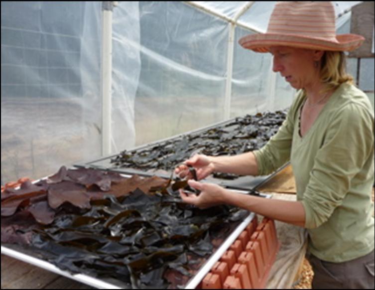 Heidi Herrmann prepares harvested seaweed for drying
