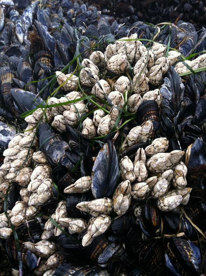 Gooseneck barnacles grow amid California mussels