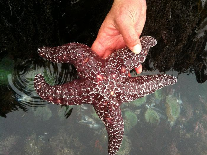 A sea star (Pisaster ochraceus) showing signs of wasting disease