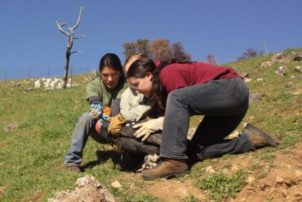 Yurok tribe biologist Tiana Williams releases a condor with two Ventana Wildlife Society interns.