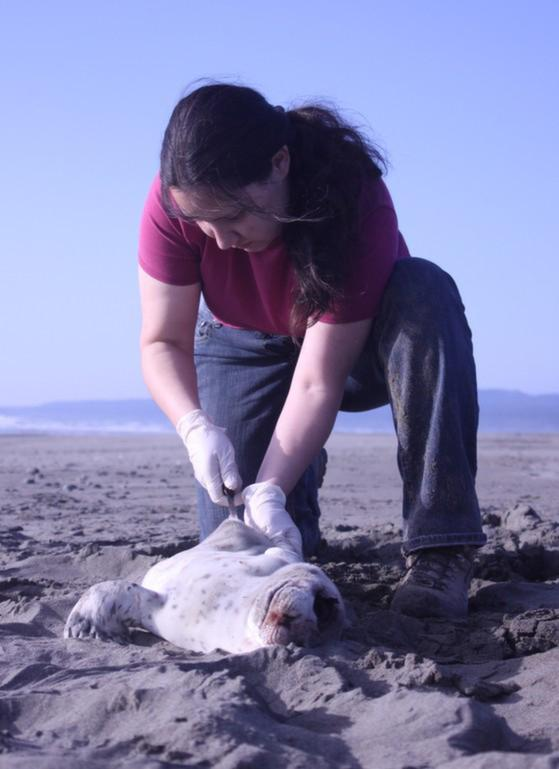 Williams samples a dead harbor seal pup for contaminants. Pesticides, such as DDT, found in marine mammals can thin the egg shells of scavenger birds such as condors.