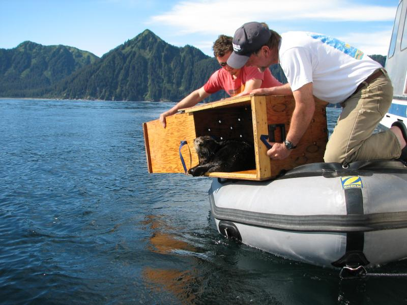 USGS Biologists release an otter back into the waters of Prince William Sound, Alaska.