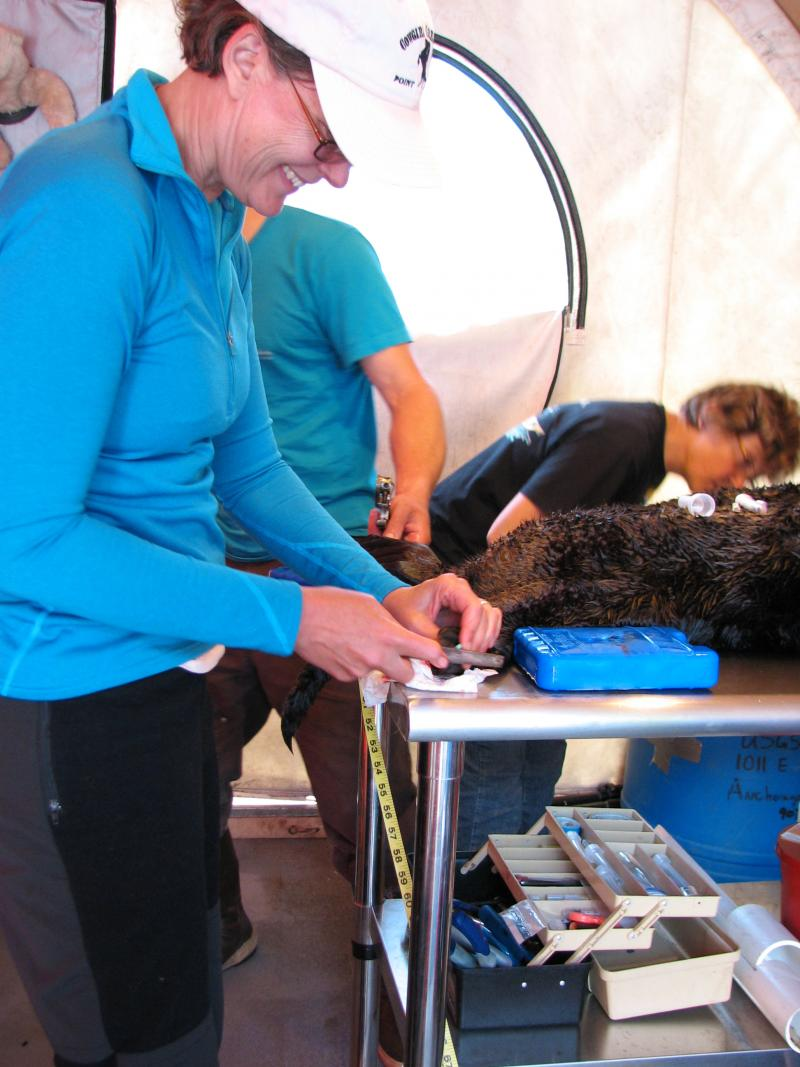 USGS biologist Lizabeth Bowen attaches a flipper tag to an adult sea otter. A small hole is made in the flipper and tags with unique color and number combinations are then attached with a clamp and screws.