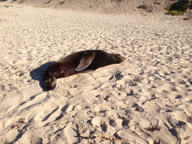 The Marine Mammal Center rescued Scoggins, an adult male California sea lion, at Marina State  Beach the day after Christmas 2013. He was found in a lethargic state, surrounded by holiday  crowds who were not aware they should not be approaching him.