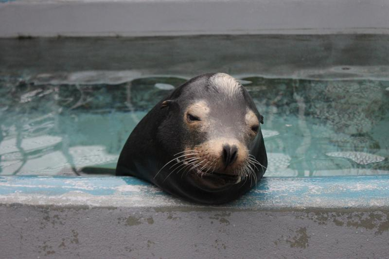 Blarney McCresty, an adult male California sea lion, was treated for domoic acid toxicity during  his rehabilitation at The Marine Mammal Center.