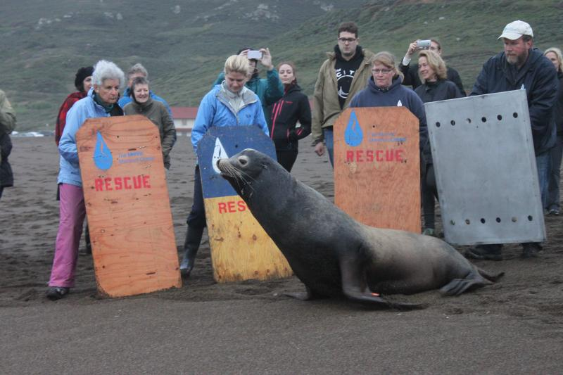 Blarney McCresty was released March 29, 2014, at Rodeo Beach after being  treated for domoic acid toxicity.