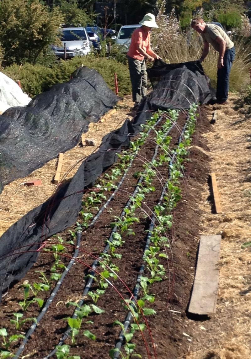 Recent vegetable starts are covered with shade cloth to protect them from the Indian summer sun this week.