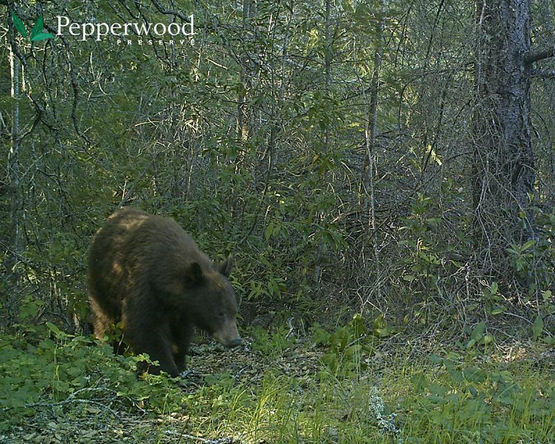 Black bear at Pepperwood