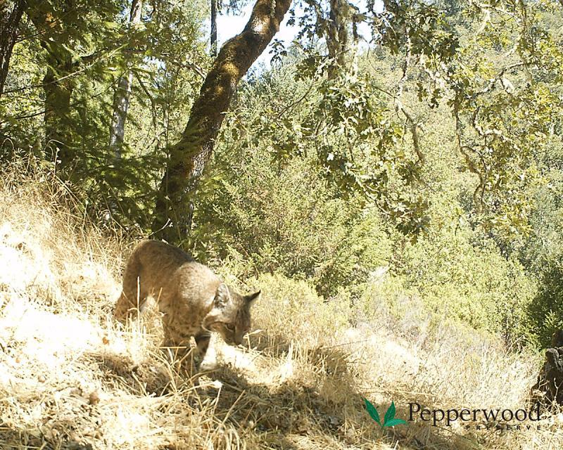 Bobcat seen at Pepperwood