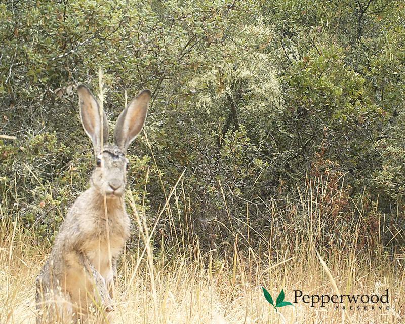 A jackrabbit inspects a camera trap at Pepperwood Preserve