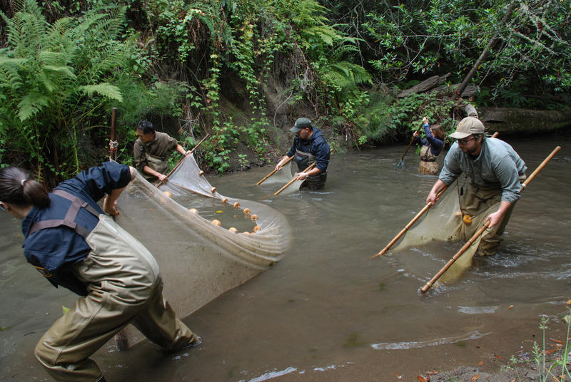 Biologists from California Department of Fish and Wildlfe and the National Park Service collecting fish in Redwood Creek.