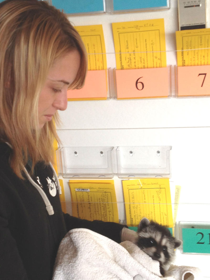 Danielle Mattos, Director of Animal Care at Sonoma County Wildlife Rescue, holds a young racoon that is recovering from treatment in their hospital.