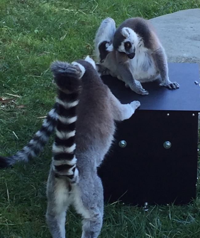 Lemurs inspect the smart feeders while waiting for them to be installed