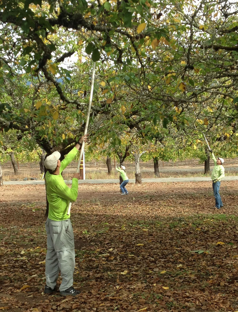 Before the students arrive, volunteers knock down walnuts from the trees so they can be picked up off the ground.