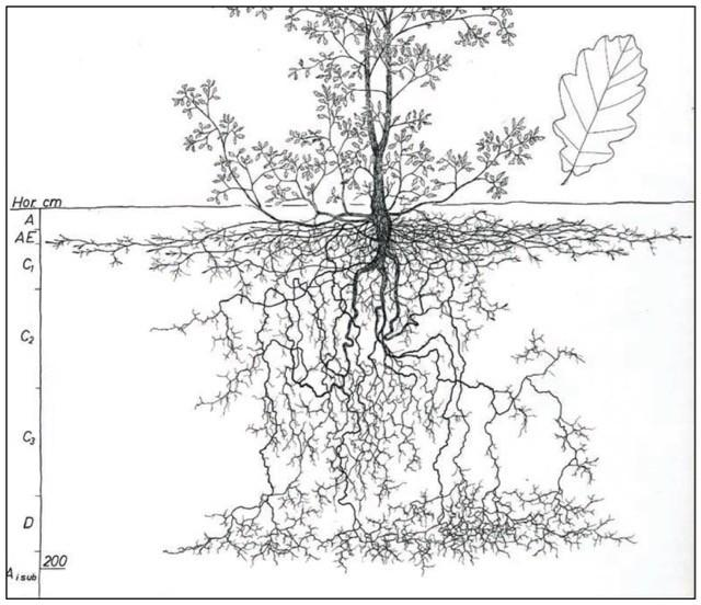 "This illustration, of an oak tree, is representative of the dozens included in ""Understanding Roots."""