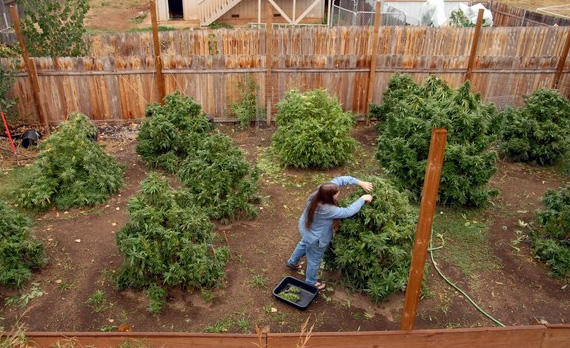 Back yard cannabis growing in residential areas wouold not be allowed under the regulations Santa Rosa is considering.