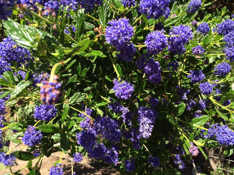 The bright purple blooms of the California Lilac attract bees of all sorts.