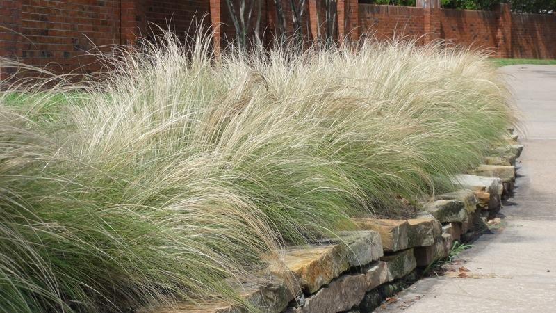 Landscaping Native Grasses : Landscaping guidelines boost native plants krcb