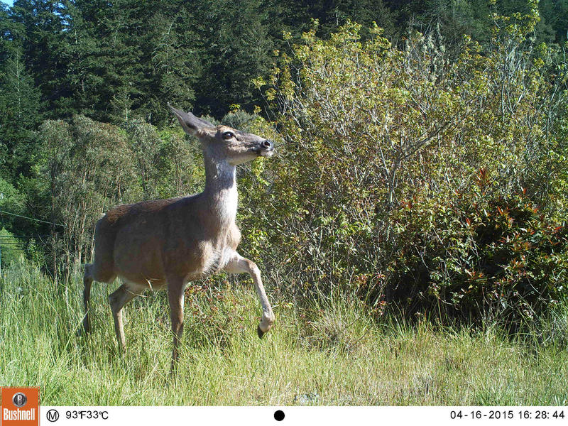 The black-tailed deer are one of the most common animals captured.