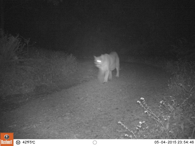 This mountain lion, affectionately named Winky, is one of two the project has caught with its cameras.