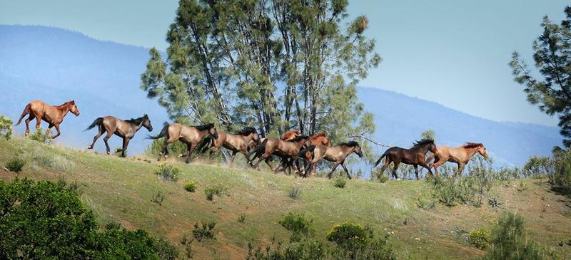 Over 200 horses roam free at Montgomery Creek Ranch.