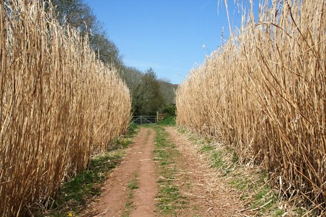 Miscanthus, a plant in the grass family, is one of World Centric's latest renewable resources being used in its products.