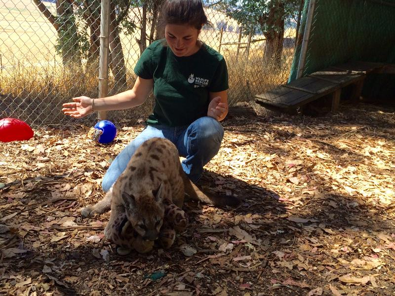 Assistant Animal Care Director Katie Woolery plays with Nicole and one her favorite toys: a stuffed leopard.
