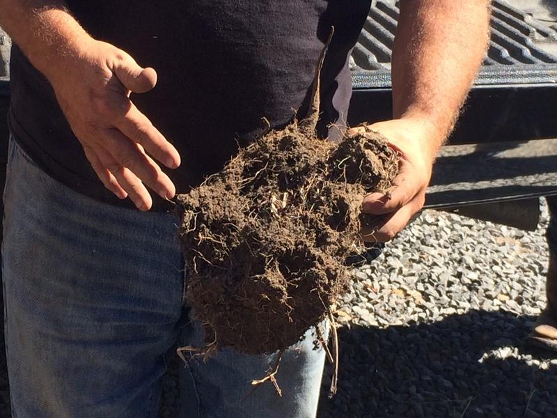 Poncia shows off the root system of a recently dug up chicory root.