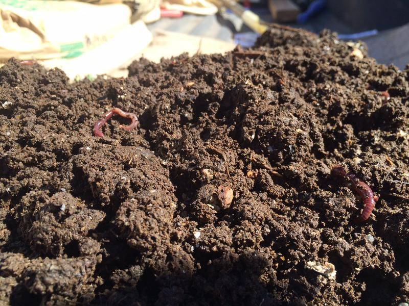 Poncia is experimenting with worm castings to bring back essential nutrients to his soil.