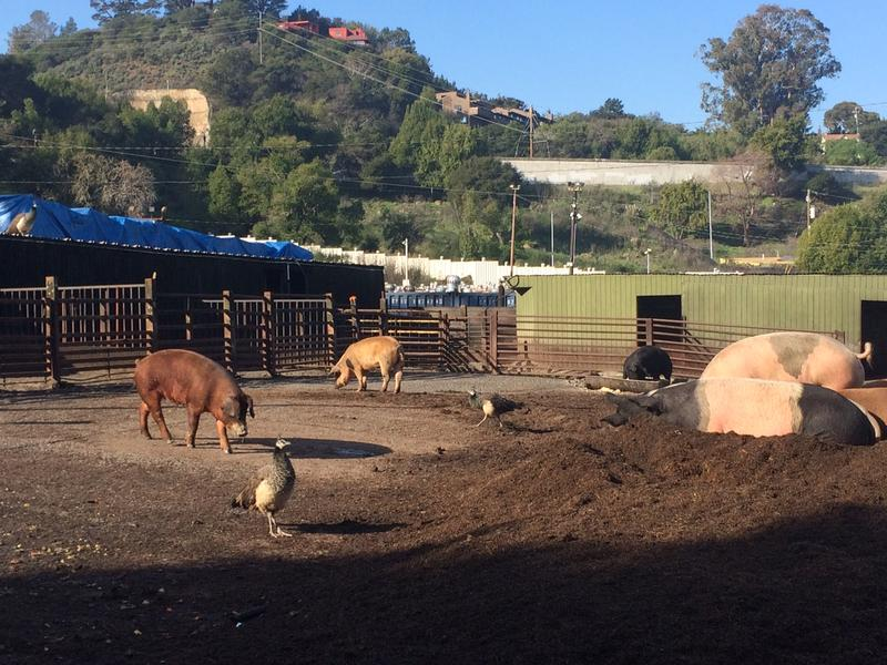 Several pigs call Flying Can Ranch home.