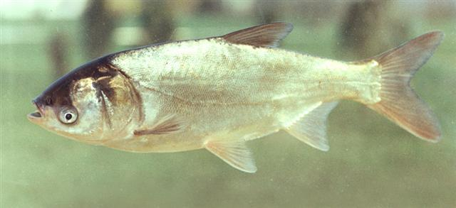 The Silver Asian Carp is an invasive species in the Mississippi River.