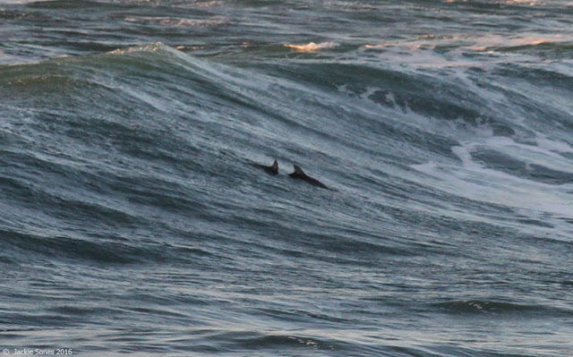 A pair of bottlenose dolphins seen recently  in the surf at  Salmon Creek Beach