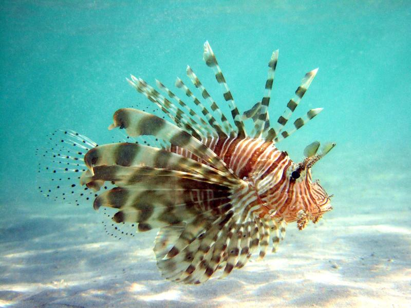 "Lionfish is a ""Best Choice"" seafood on the Seafood Watch program."