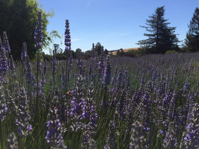 Bees buzz around hundreds of Provence lavender stems at the Lavender Bee Farm in Petaluma