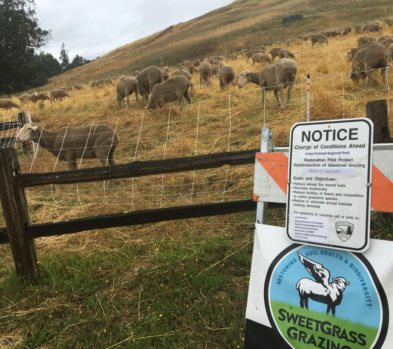Movable electric fencing defines the grazing area for ther sheep working the grasslands at Putname Park.