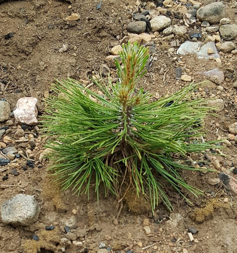 Baby tree planted in Tahoe National Forest