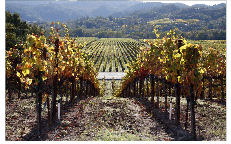 The North Bay winegrape harvest begins in August and runs through the end of October.