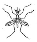 Mosquito/clipart