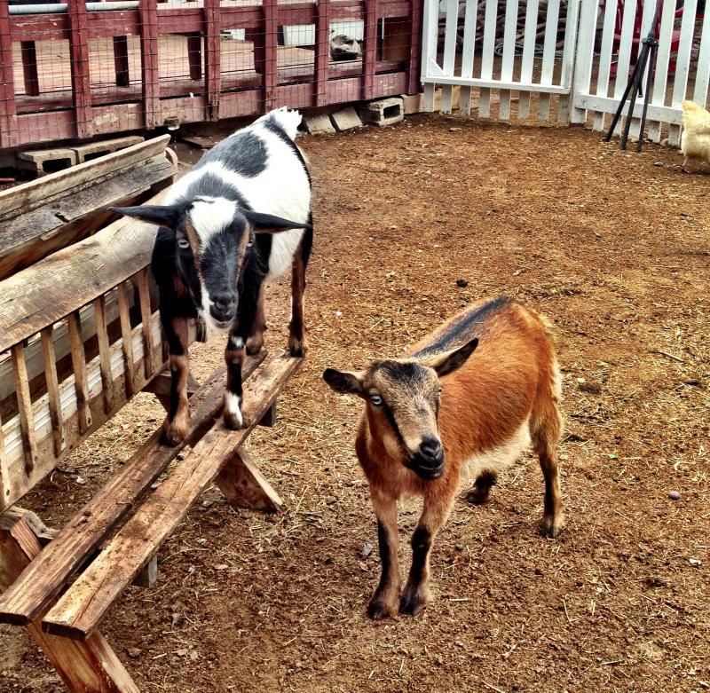 Monycka Snowbird's urban goats
