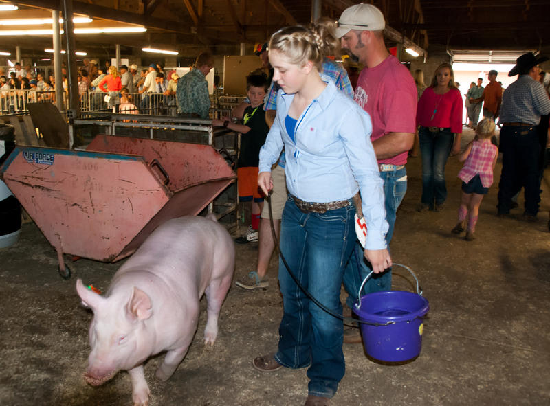 Taylor Jenkins of Bayfield walks her swine, York, to the arena. Her father Judd Jenkins is behind her in the red shirt.