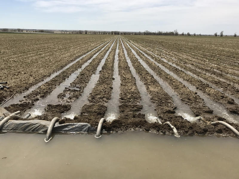 Matt Heimerich's field of oats and triticale in Crowley County is being flood-irrigated with water from the Colorado Canal, which draws from the Arkansas