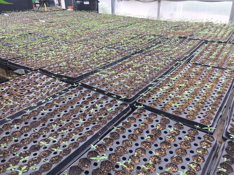Hemp seedlings
