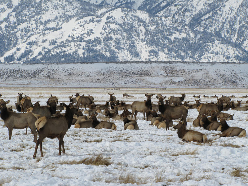 Members of the Jackson Elk Herd are seen here wintering on the south end of the National Elk Refuge in Wyoming